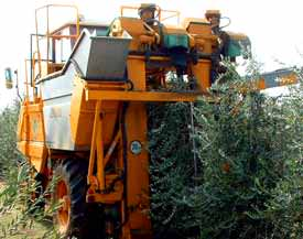 high-density-life-for-olive-trees-getting-harder