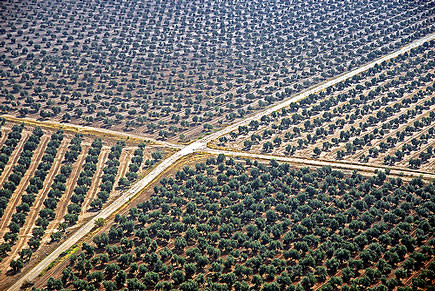 spains-olive-harvest-marked-by-lower-yields-too-many-workers