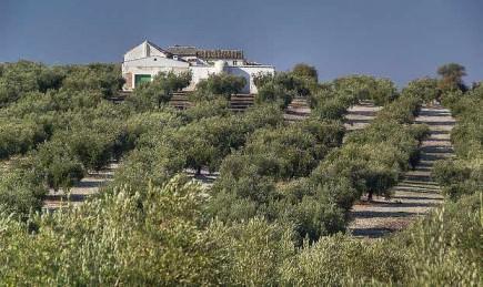 record-olive-harvest-in-baena