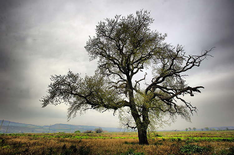 the-beauty-of-olive-trees
