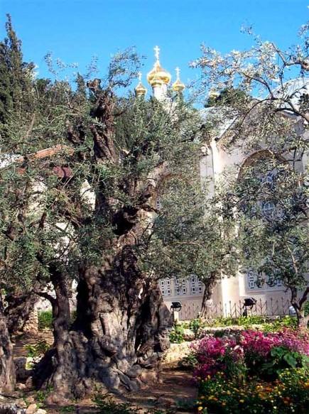 gethsemane-olive-trees-among-worlds-oldest