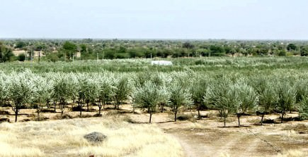 olive-farming-in-indias-rajasthan-rolls-on