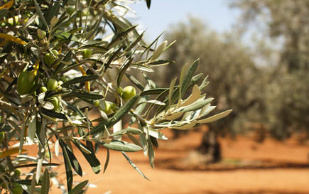 germans-head-to-crete-to-harvest-olives