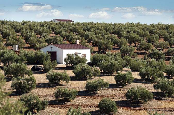 world-olive-oil-production-drops-by-a-quarter-council-predicts