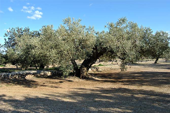 farga-olive-oil-a-gift-from-our-ancestors-la-farga
