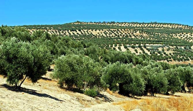 world-olive-oil-consumption-slips-production-rebounds-andalucia-spain