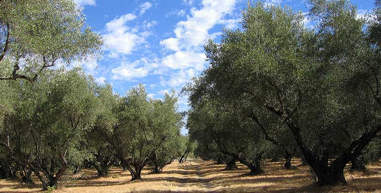 berkeley-olive-grove-evoo-packs-a-punch