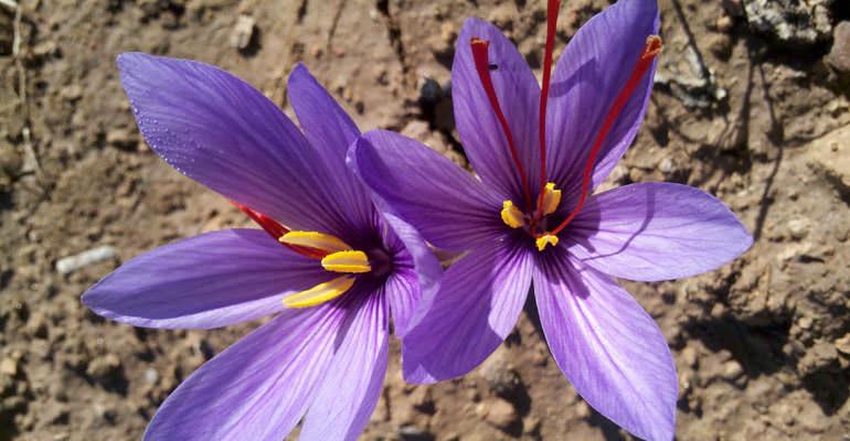 catalan-olive-oil-producers-find-saffron-a-lucrative-sideline