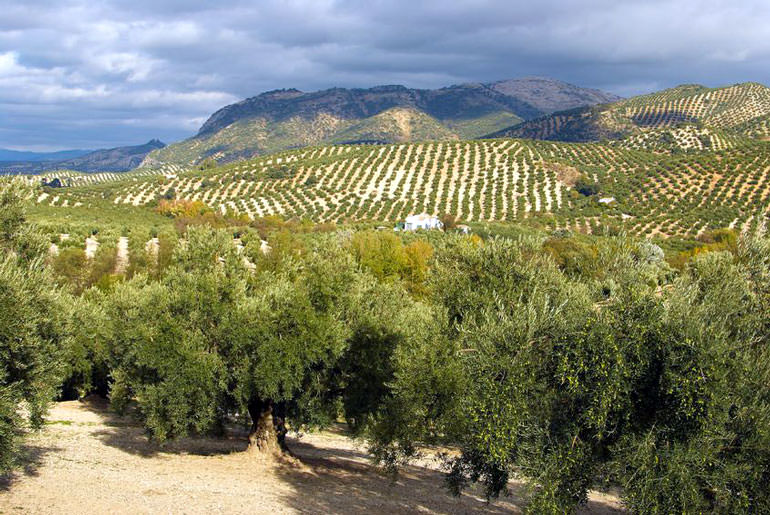 andalusia-boasts-record-olive-oil-exports-amidst-drought