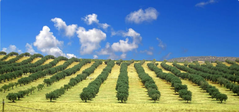 spain-replaces-italy-as-top-olive-oil-exporter-to-the-us-and-japan