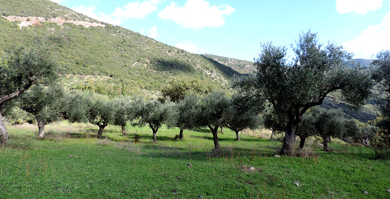 bucking-the-trend-why-olive-oil-prices-in-greece-are-falling
