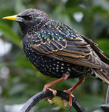after-the-olive-fruit-fly-and-bacterial-blight-the-dreaded-starling