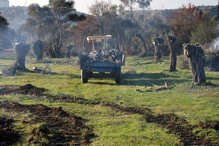 more-olive-groves-leveled-in-turkey-to-make-way-for-power-plants