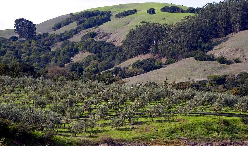 as-california-grapples-with-water-shortage-olive-oil-producers-see-an-up-year