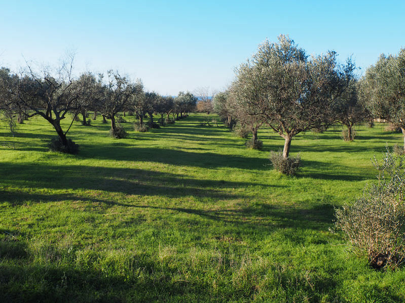 istrian-olive-oil-gets-national-pdo