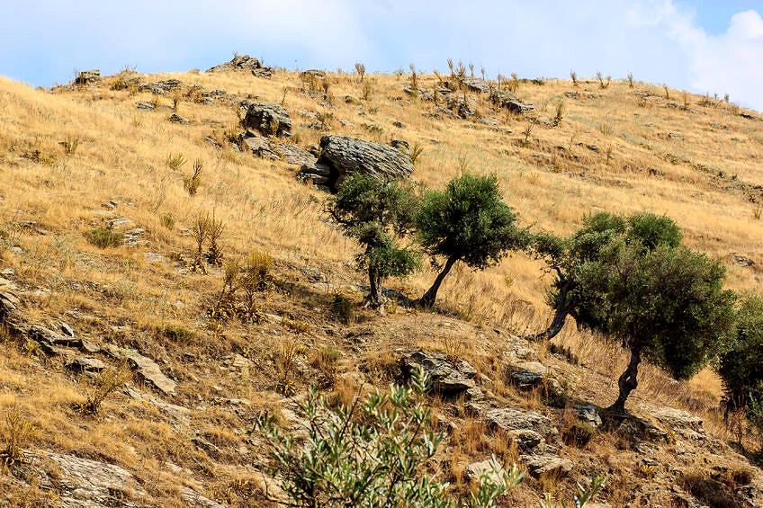 turkeys-recurrent-olive-oil-crisis