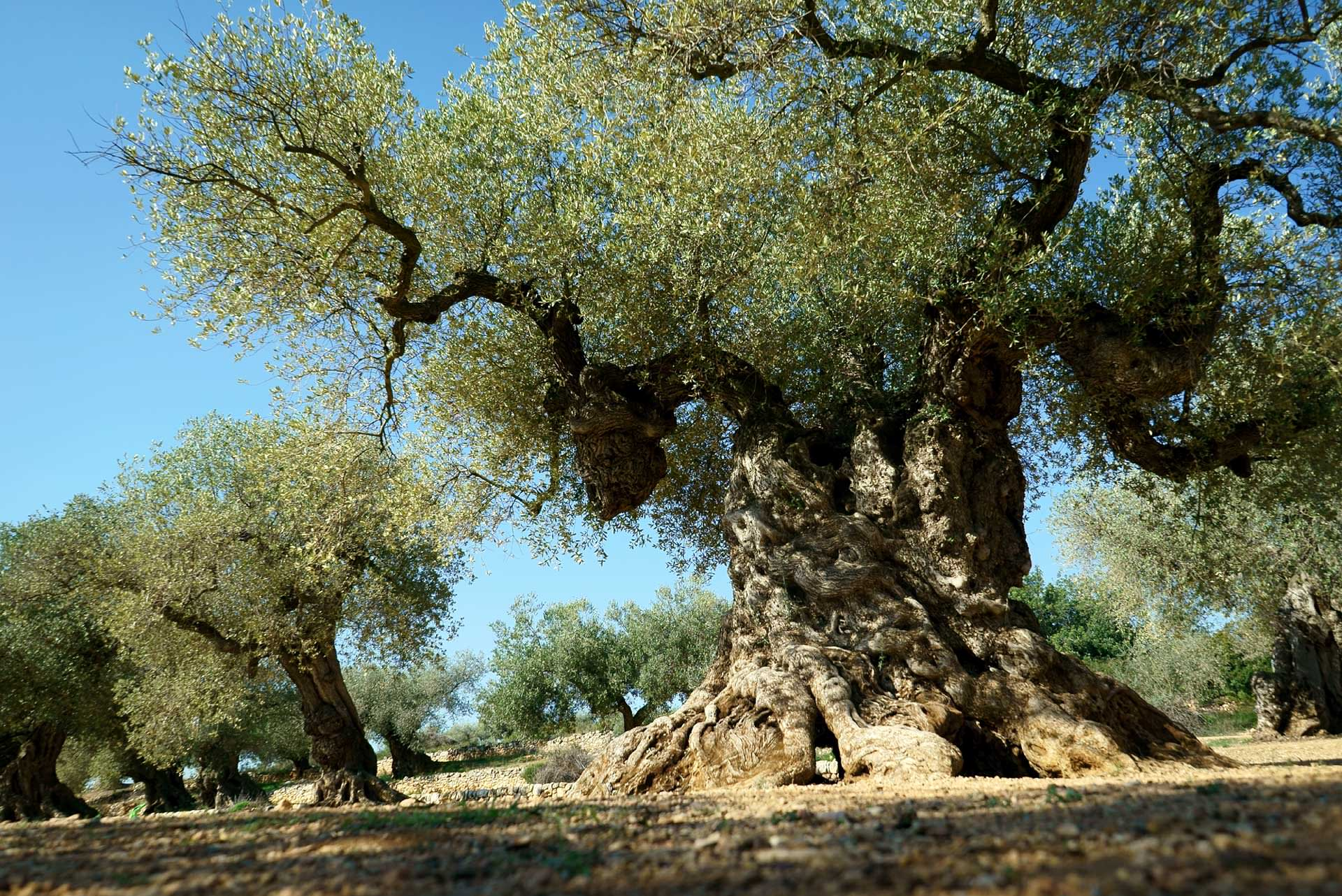 Image result for pictures of olive trees