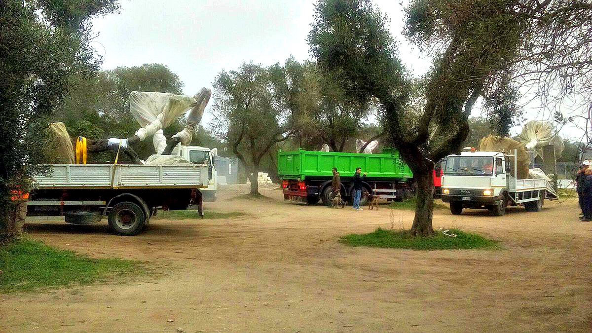 removal of olive trees for pipeline to resume