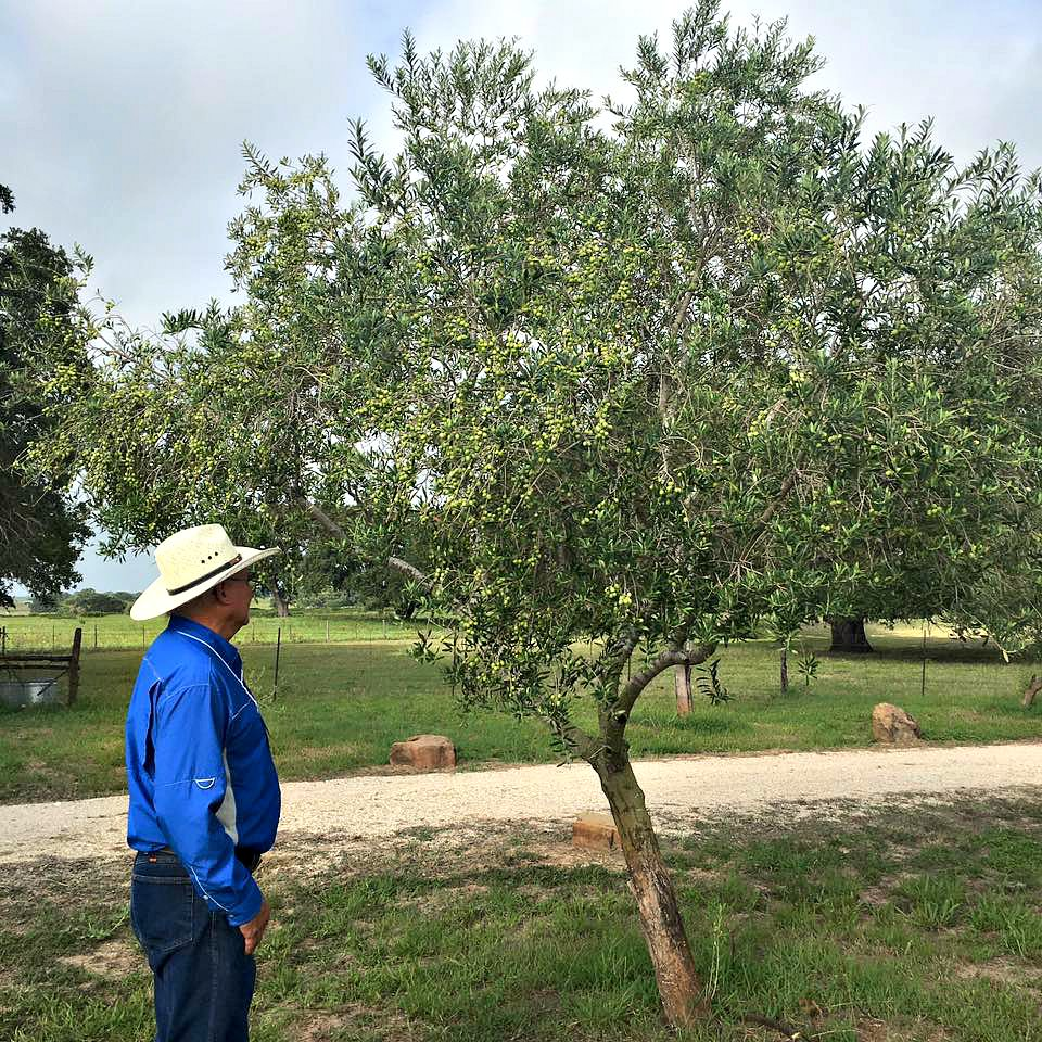 texas-to-host-first-olive-oil-conference