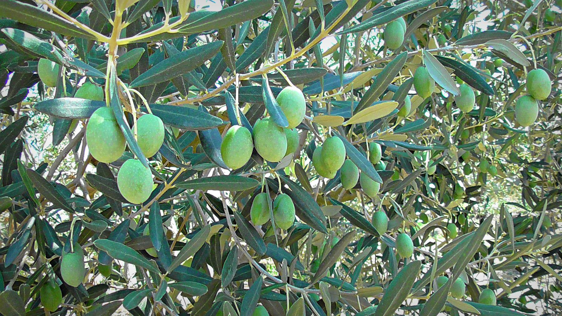 the-unstoppable-journey-of-yannis-olive-grove