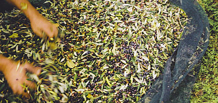 september-heat-means-early-harvest-less-olive-oil-in-italy
